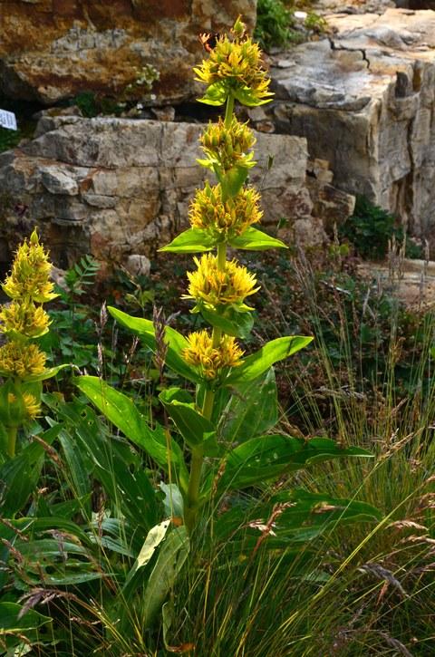 Der Gelbe Enzian im Fichtelberggarten