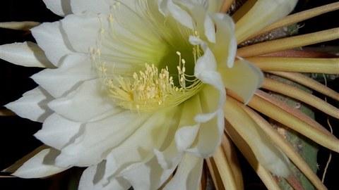 """Foto der großen weißen Blüte des Kaktus """"Königin der Nacht"""""""