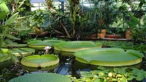 Die Riesenseerose im Gewächshaus des Botanischen Gartens