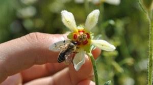 Biene auf Blüte von Nasa triphylla