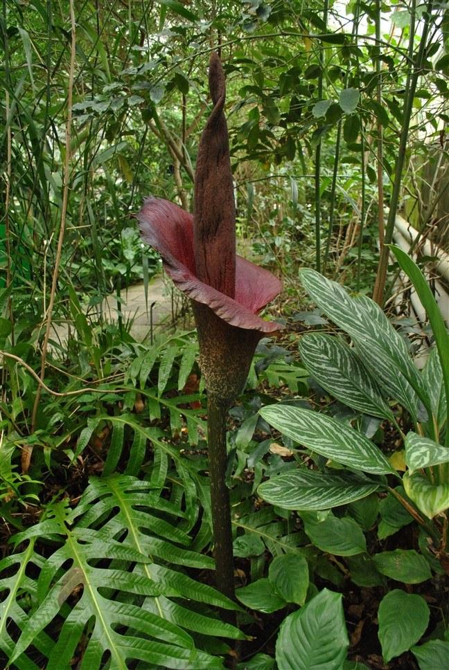 bisherige pflanzen der woche die stinkende titanenwurz botanischer garten tu dresden. Black Bedroom Furniture Sets. Home Design Ideas
