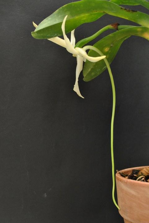 Blütensporn von Angraecum sesquipedale