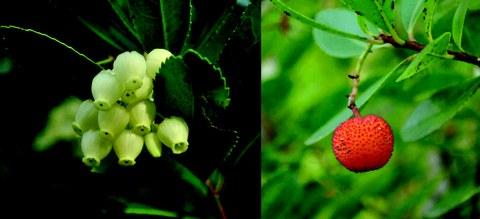 Blüten und Frucht des Westlichen Erdbeerbaums