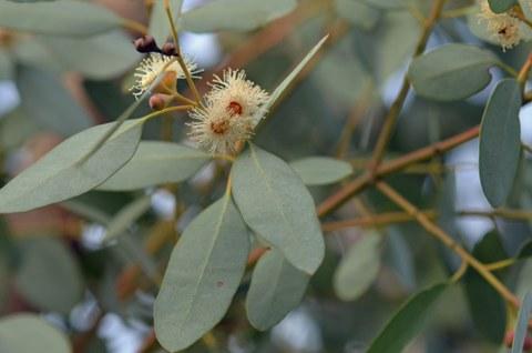 Cremefarbene Blüten des Mostgummi-Eukalyptus