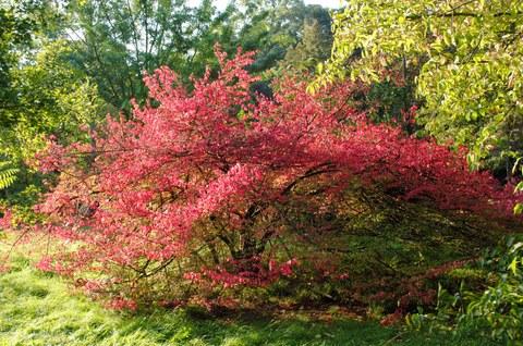 _Geflügelter Spindelbaum ganz
