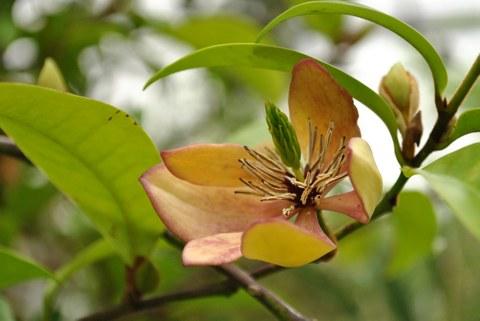Blüte von Magnolia figo