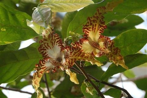 Monodora tenuifolia