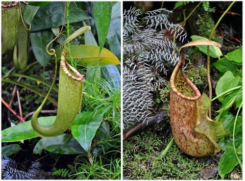 Zwei zu Kannen umgewandelte Blätter der Kannenpflanze