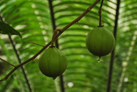 Früchte von Oncoba routledgei
