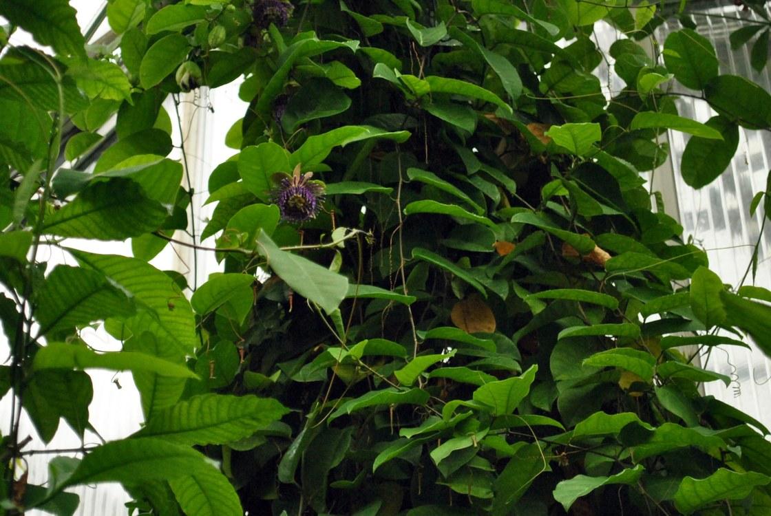 Bisherige pflanzen der woche die gelbe grenadille botanischer garten tu dresden - Zimmerlinde bilder ...