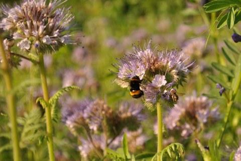 Bienenfreund-Blüten mit Insekten