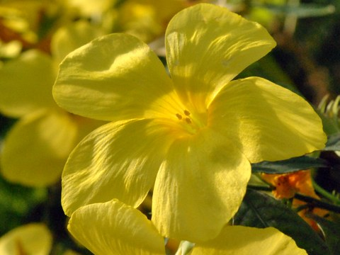 Blüte von Reinwardtia indic