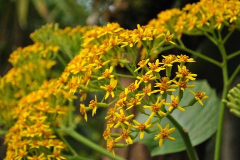 Gelbe Blütenköpfchen von Senecio grandifolius
