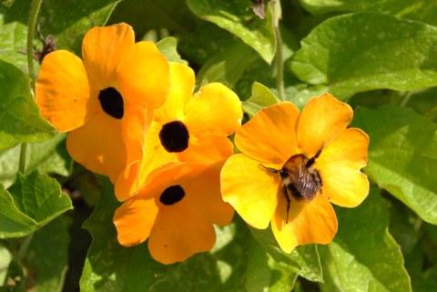 Blüten der Schwarzäugigen Susanne