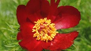 Foto einer roten Blüte der Pfingstrose Paeonia tenuifolia