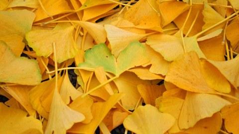 Foto von herabgefallenem, gelben Laub des Ginkgos