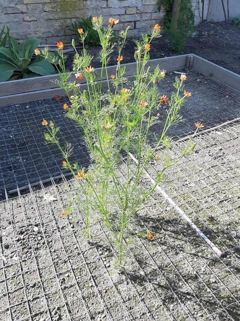 Foto des Sommer-Adonisröschen in der Erhaltungskultur. Auf dem Erdboden liegt ein Metallgitter, durch das vier Pflanzen wachsen.