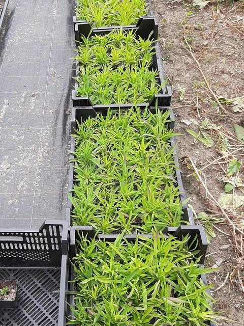 Foto von Jungpflanzen der Pracht-Nelke in mehreren Paletten.