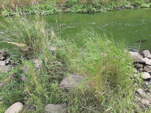 Foto vom Sächsischen Reitgras, das an einem Flussufer zwischen Steinen wächst.