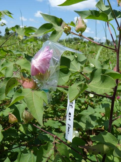 Foto von mehreren Baumwollpflanzen. Eine der rosafarbenen Blüten steckt in einem durchsichtigen, perforierten Plastikbeutel. An dem Ast hängt ein Etikett mit einer schwer zu entziffernden Beschriftung.