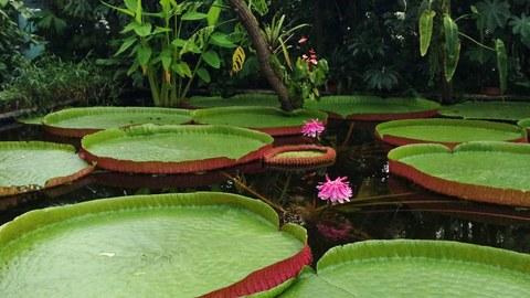 Foto eines Wasserbeckens im Gewächshaus mit großen runden Seerosenblättern mit hochgewölbtem Rand und zwei rosa-farbenen Blüten
