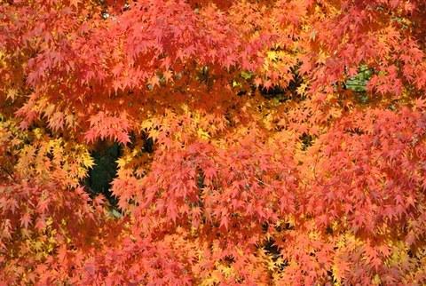 Foto der roten Herbstlaubfärbung von Acer palmatum