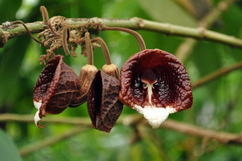 Blüten von Aristolochia arborea