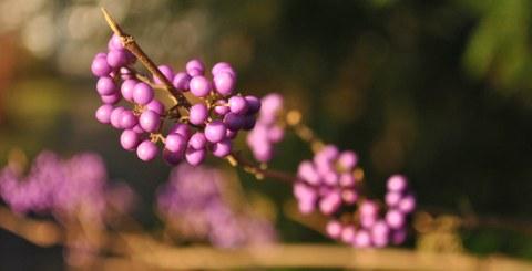 Foto von den kleinen, kugeligen, leuchtend violetten Früchten von Callicarpa japonica