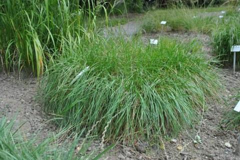 schmalblättriges Gras mit etwa 20 cm Wuchshöhe