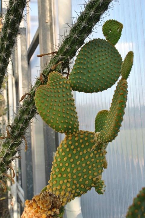 Die grünen Sprossglieder tragen goldgelbe, runde Polster aus kleinen borstenartigen Dornen