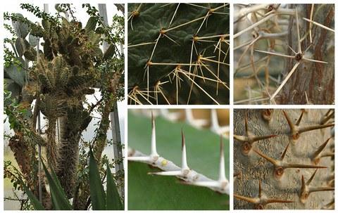 Dornen verschiedener Pflanzen im Sukkulentenhaus