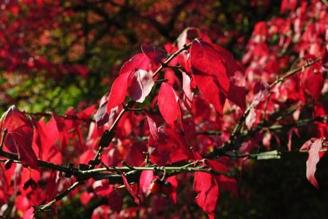 Geflügelter Spindelbaum
