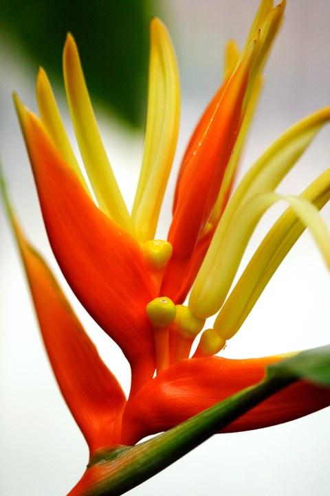 Blütenstand von Heliconia aurantiaca
