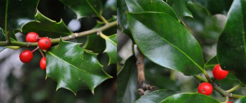 Heterophyllie bei Ilex aquifolium: Gezähnte und glattrandige Blätter im Vergleich
