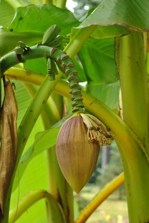 Blütenstand der Bananenart Musa basjoo