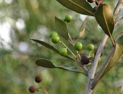 Braune Olive
