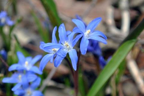 Blüten von Scilla luciliae