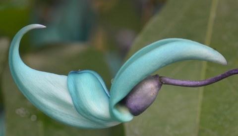 Einzelne türkis Blüte des Jadeweins