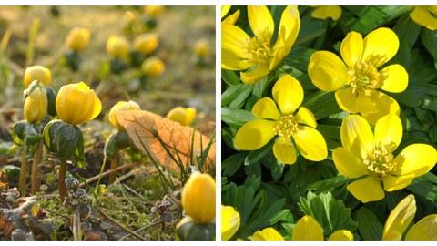 Fotocollage mit einem Bild des Habitus des Winterlings mit geschlossenen Blüten und Detailansicht der gelben Blüten.