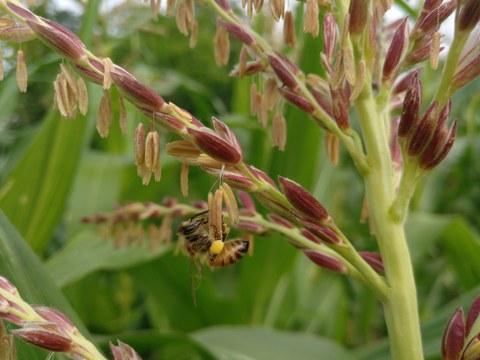 Detailaufnahme des männlichen Blütenstands der Maispflanze. Die Staubbeutel hängen nach unten aus den rötlichen Spelzen heraus. Eine Biene klettert herum, sie ist mit Pollen bepudert.
