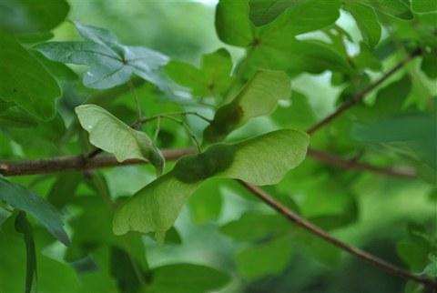 Foto der Früchte des Feld-Ahorns