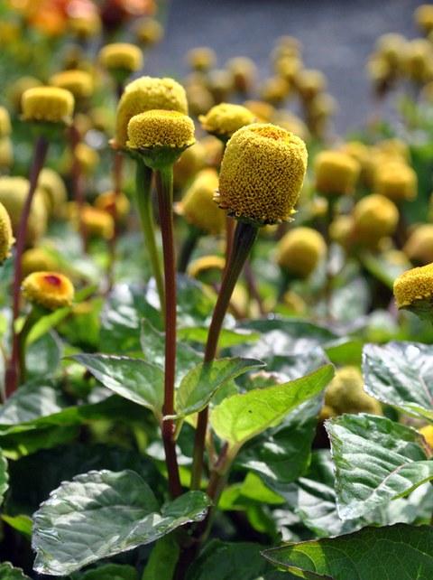 Blütenköpfchen des Husarenknopfs Acmella oleracea