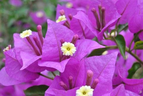 Foto der kleinen gelben Blüten von Bougainvillea glabra zwischen den auffällig violetten Hochblättern