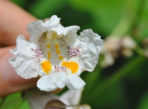 Foto der Blüte von Catalpa bignoniodes