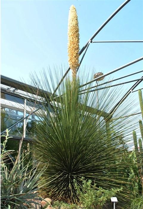 Foto des Rauschopfs mit einem mehrere Meter hohen Blütenstand