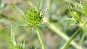Foto der Blütenstände des Feld-Mannstreu