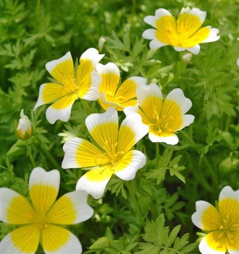 Foto der gelb-weißen Blüten von Limnanthes douglasii