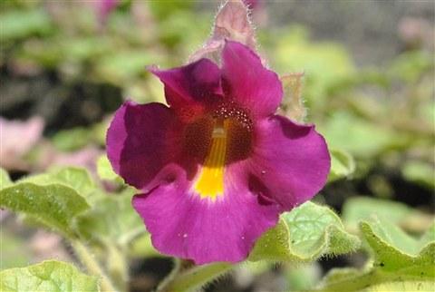 Foto der violetten Blüten von Proboscidea fragrans