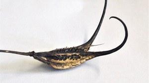 Foto der Frucht von Proboscidea fragrans