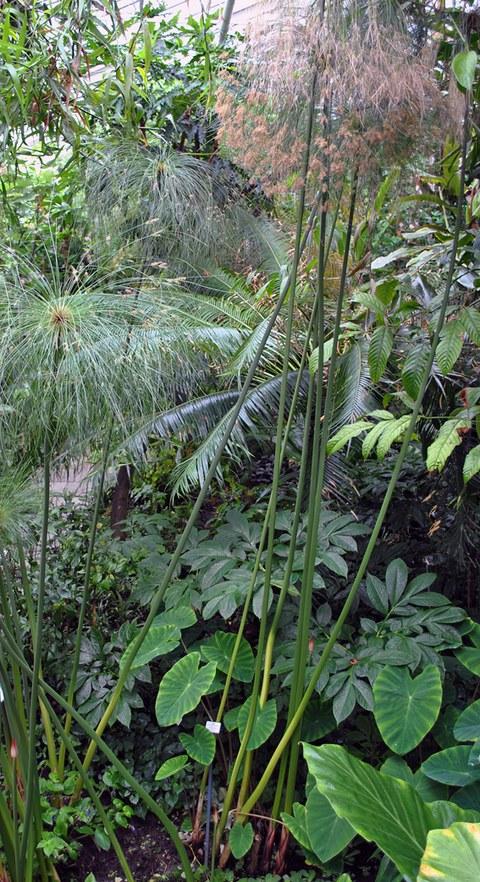 Foto der Papyrusstaude im Regenwaldhaus 1.